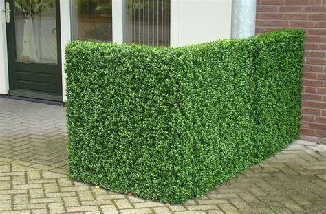 Buchsbaum 50 Cm Preis. Buchsbaum Kugel 45 50 Cm Premium
