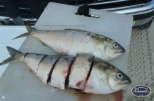 Striped Bass Fishing Bait Rigs