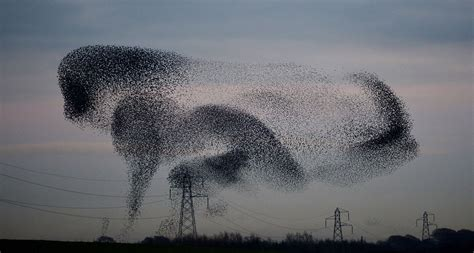 starling migration uk during the autumn and winter huge