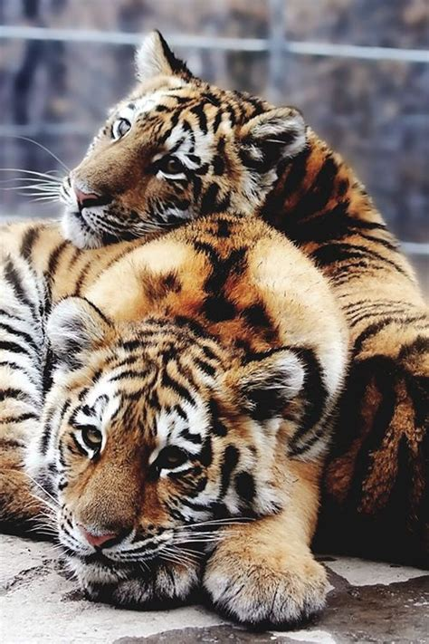 Best Love Tigers Images Pinterest Big Cats