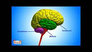 3 Basic Parts Of The Brain Brain Parts & Functions Video ...