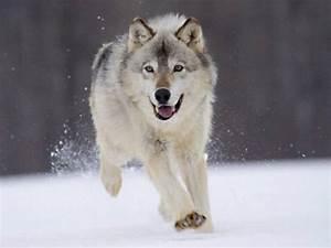 Bébé Loup Blanc : animaux loup blanc des neiges ~ Farleysfitness.com Idées de Décoration