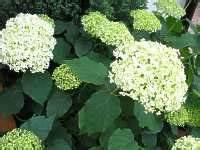 Sind Hortensien Winterhart : pflege hortensie endless summer r ckschnitt hortensien berwintern ~ Orissabook.com Haus und Dekorationen