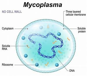 What are Genital Mycoplasmas?