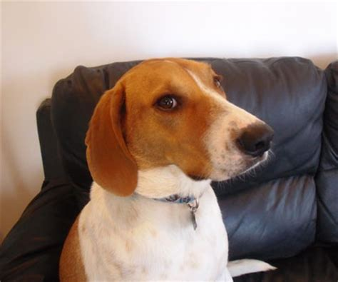 american foxhound dog breed