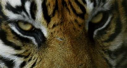 Gifs Tiger Eyes Animals Blink Giphy Animal
