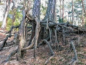 Profondeur Des Racines D Un Figuier : racine botanique wikip dia ~ Nature-et-papiers.com Idées de Décoration