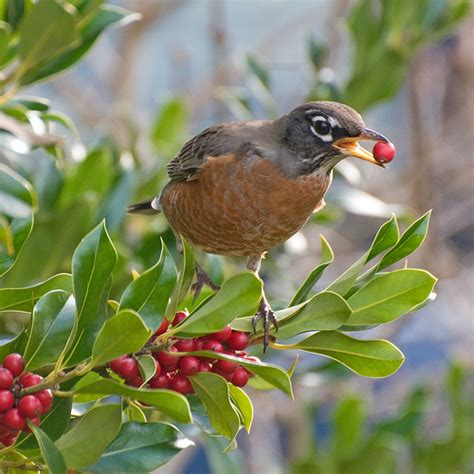 robin eating holly berries series flickr photo sharing