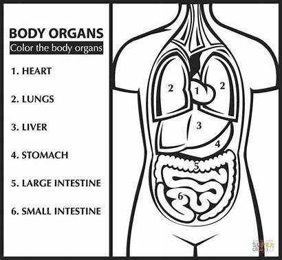 Coloring Pages Anatomy Organs Organ English Printable