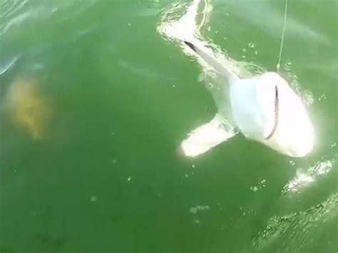 grouper shark eats goliath bite