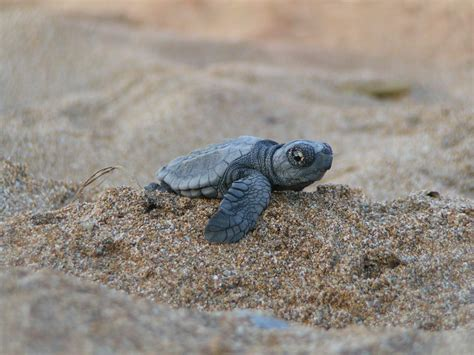 Turtle Images The Baby Turtle Free National Geographic Pix