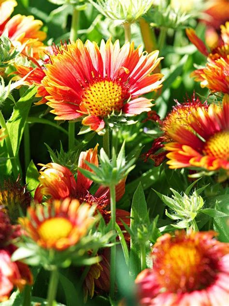 best mail order perennials drought resistant perennials drought resistant perennials this rachael edwards