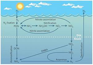 Marine Nitrogen Cycle In Oxic And Anoxic Conditions  From