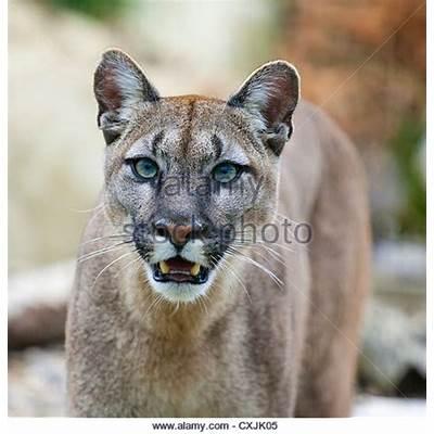 Pumas Stock Photos & Images - Alamy