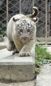 cute white tiger in a zoo | Tiger spirit animal, Wild cats ...