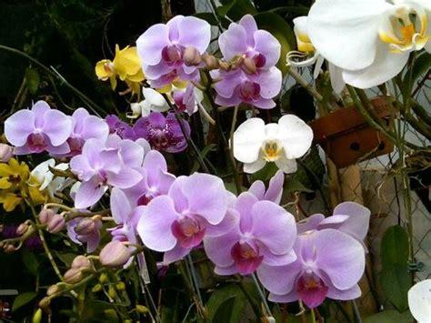 phal s anggrek bulan kebun teman lembang beautiful indonesia indonesia