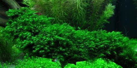fissidens fontanus tropica aquarium plants