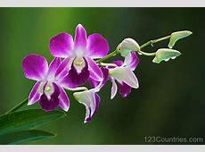 National Flower Of Venezuela Orchid 123Countriescom