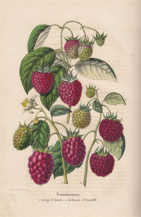 how to make botanical prints free vintage botanical printable raspberry from old belgian book vintage printable fruits