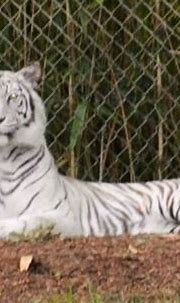 A white tiger at Nashville Zoo...amazing! | Zoo, Critter ...