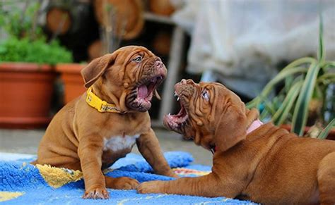 Bullmastiff Shedding by Bullmastiff Facts About The Fearless Family Companion