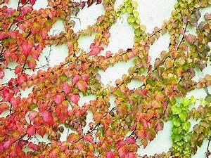 Kletterpflanzen Für Balkon : gestaltung von terrasse und balkon ratgeber zum berwintern von kletterpflanzen ebay ~ Buech-reservation.com Haus und Dekorationen