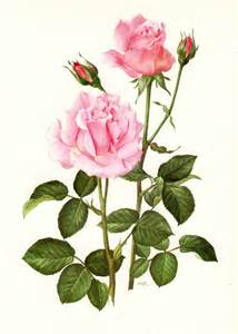Roses Botanical Illustration Vintage