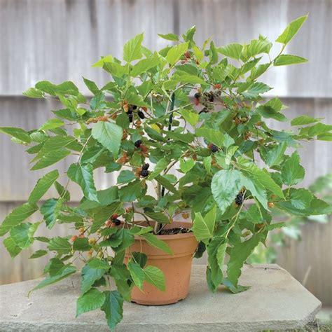 mulberry issai morus alba
