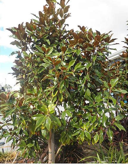 magnolia tree australia magnolia kay parris evergreen trees mature perth wa