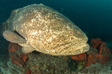 reef grouper goliath different data population being species september agencies researchers several government currently support help ferretti lureen threatened recovery