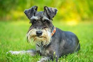 What, Is, The, Difference, Between, A, Schnauzer, And, A, Scottish