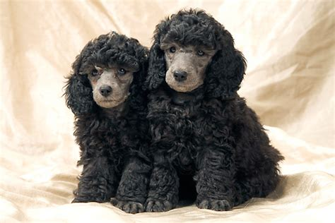 poodle animal stock  kimballstock