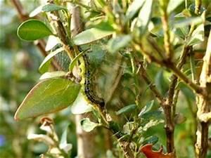 Pyrale Du Buis Traitement Bio : insecticide tout ~ Melissatoandfro.com Idées de Décoration