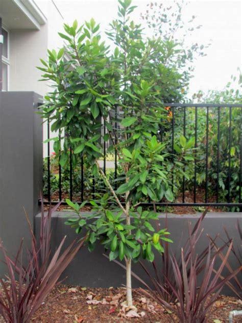 water gum luscious   plants garden supplies