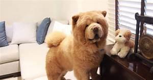 Little Dog Breeds That Look Like Bears - Breed Dogs ...