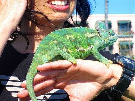 chameleon pet she loves her pet chameleon flickr photo sharing