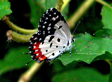 vlinder wikiwoordenboek