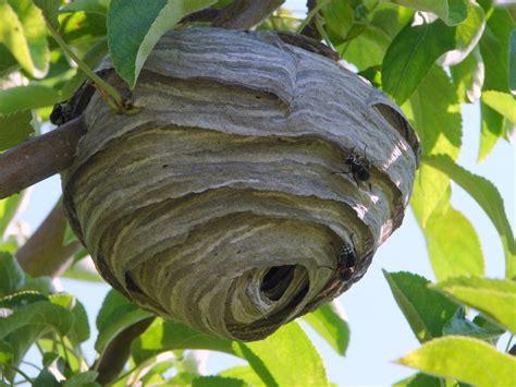 bald faced hornet narragansett pest control