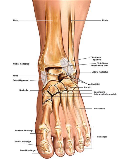 Human Foot Part Names  Anatomy Body List