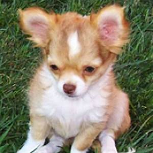 Do Long Hair Chihuahuas ShedInformation About The