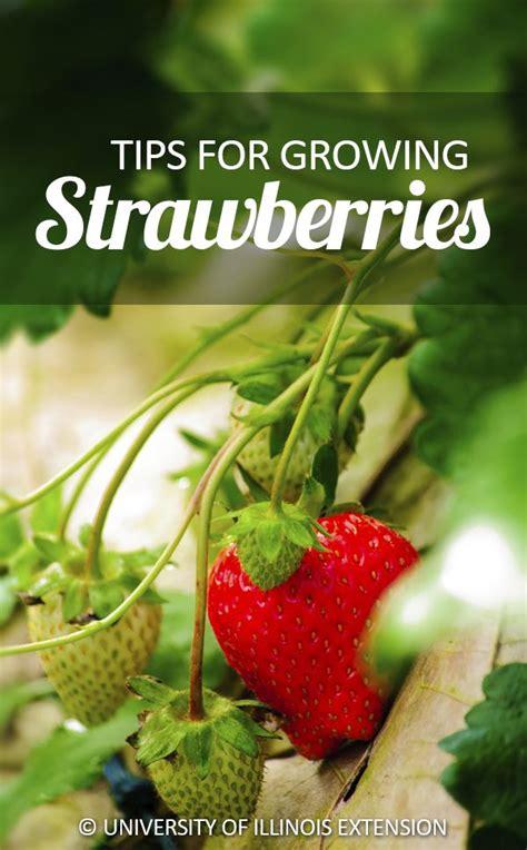 tips  growing strawberries garden fruit gardening