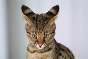 savanna cat file cat closeup jpg