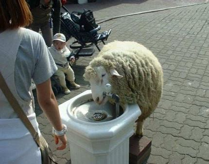funny sheep pictures funny animal