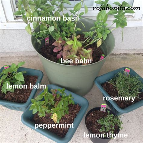 do citronella plants really repel mosquitoes dress up your patio with these 12 mosquito repelling plants rojabonita