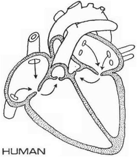 humanheartdiagramjpg
