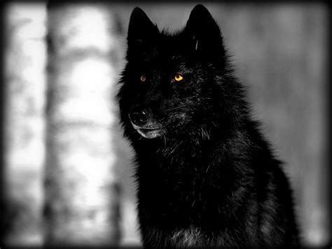 Angry Wolf Wallpaper Black by Severe Crisis Help Dissociative Identity Disorder