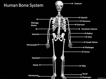 Skeleton System Human Animated Inner Bone Animation
