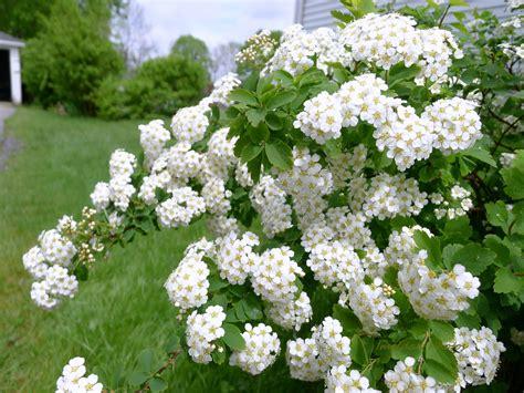 blooming bush white flower bush my wall