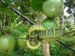 Mini Fruit Farm@PeterTean.com: My farm @ Passion fruit ...