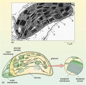 Chloroplast Diagram Electron Microscope Gallery - How To ...